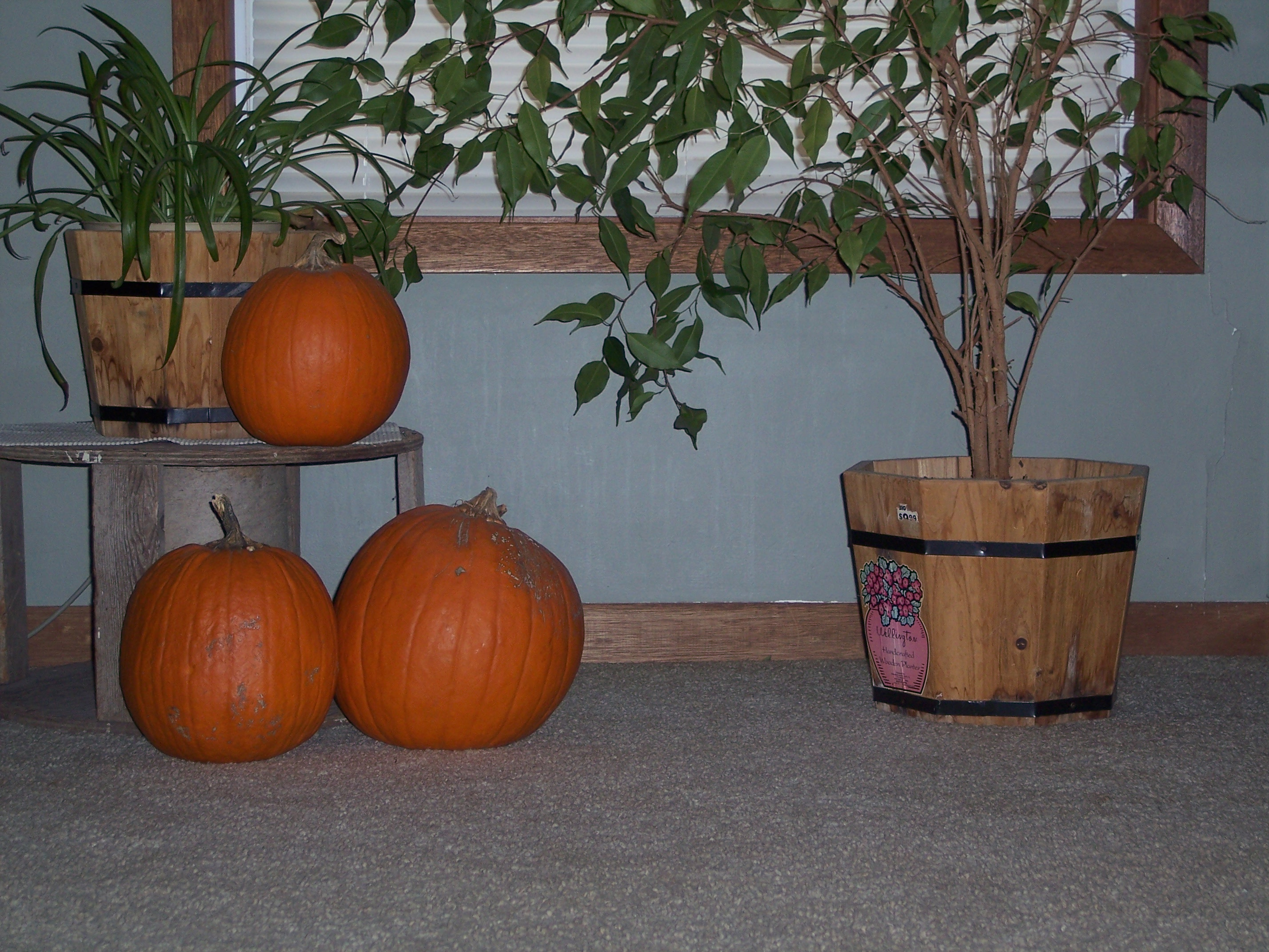 Pumpkins in February
